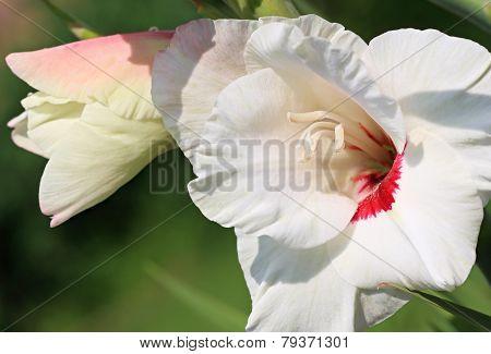 White gladiolus
