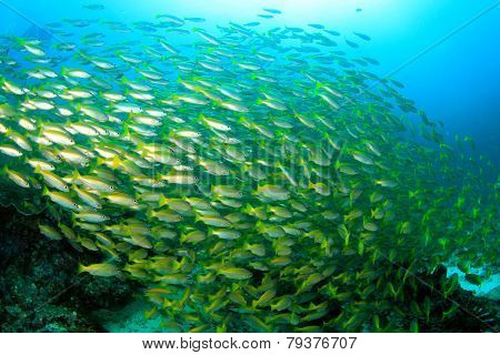 Shoal yellow Snapper fish