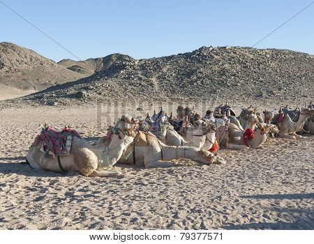 Herd Of Dromedary Camels In The Desert