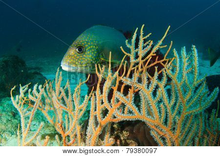 Sweetlips fish and coral