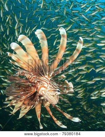 Lionfish hunting fish school