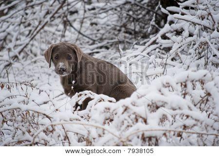 Silver snow puppy