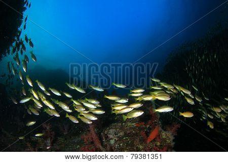 School Snapper fish