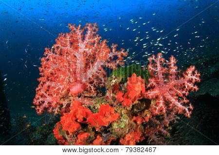 Soft Corals and fish
