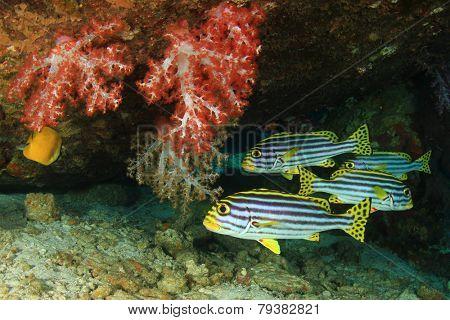 Oritental Sweetlips fish
