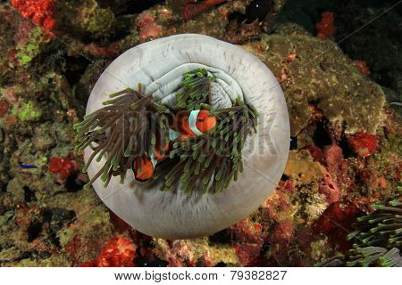 Anemone with Clownfish (Nemo fish)