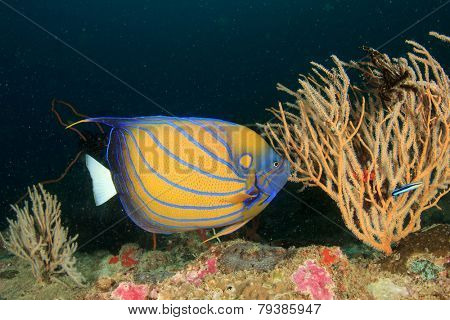 Ring Angelfish