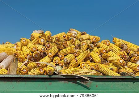 Corn Maize Cobs Against Crystal Clear Sky