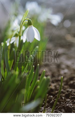 Beautiful White Snowdrops In A De Focused Spring Garden