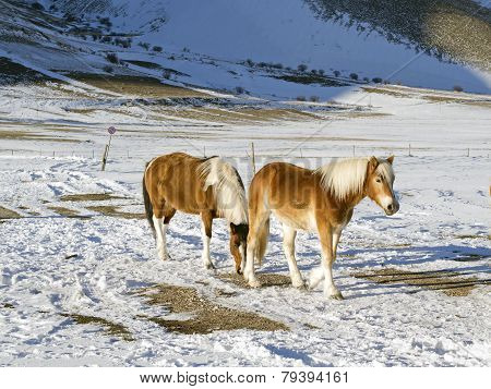 Ponies In The Snowy Plateau Of Castelluccio Of Norcia, Umbria, Italy