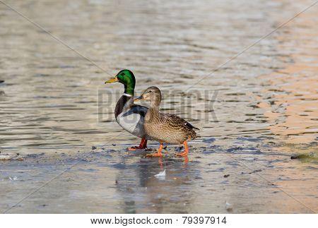 Wild Duck Couple