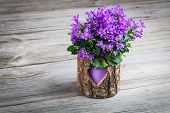 picture of flower pots  - blue campanula flowers in pot wooden background - JPG