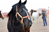 stock photo of breed horse  - learn horse breeding and horse riding ranch - JPG