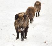 stock photo of boar  - Wild boars walking on snow in the row and looking for food