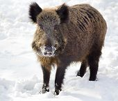 pic of boar  - Wild boar standing on snow and looking at camera