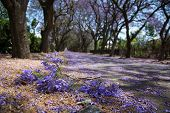 pic of tree lined street  - Suburban road with line of jacaranda trees and small branch with flowers on - JPG