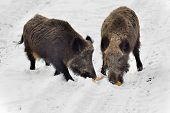 foto of boar  - Two wild boars eating corn cob on the snow - JPG