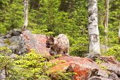 foto of mountain lion  - Puma concolor called mountain lion in forest - JPG