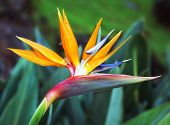 picture of bird paradise  - Close up of a Bird of paradise flower - JPG