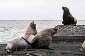 foto of sea lion  - Nature of Kamchatka - JPG
