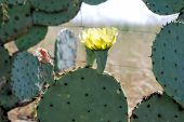 picture of xeriscape  - A close up view of two prickly pear flowers framed by the cactus - JPG
