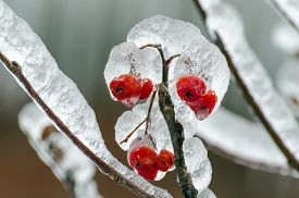 pic of freezing  - Twigs of tree encased in ice after a freezing rain storm - JPG