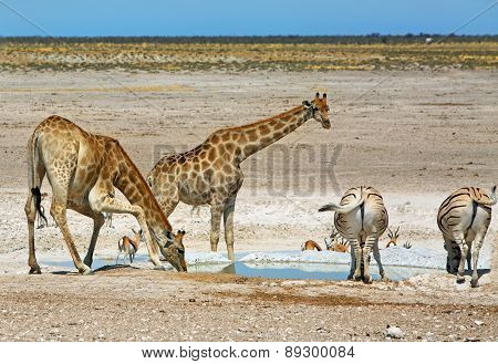 A waterhole in etosha with Giraffes bending to drink and zebras