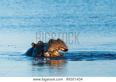 Hippo Eating In River Chobe Botswana Africa