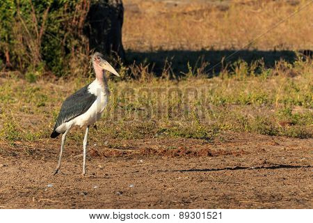Marabou Stork Walking Riverside Africa