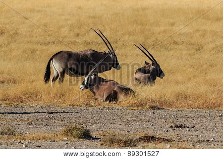 Group Gemsbok Or Gemsbuck Oryx Standing Field