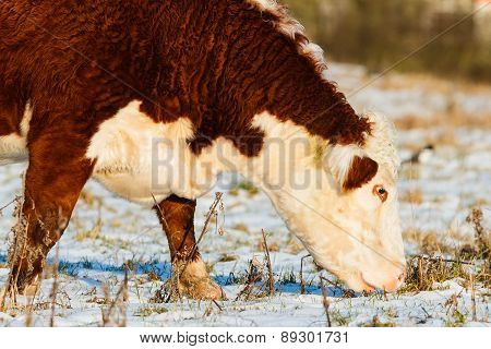 Highland Cattle Close Up Winter