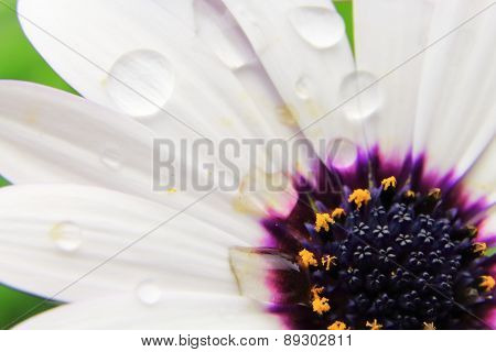White Osteospermum With Water Droplets On Petals