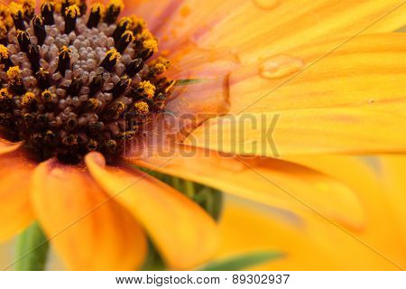 Orange Osteospermum With Water Droplets On Petals