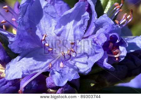 Rhododendron Flowers On A Green Background