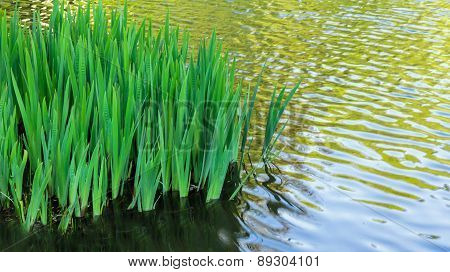 Iris Leaves In A Rippling Pond With Copy Space