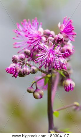 Meadow-rue (Thalictrum aquilegiifolium) Just Beginning To Bloom