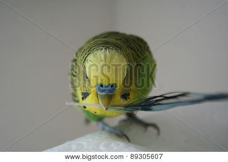 Parakeet with feather in mouth