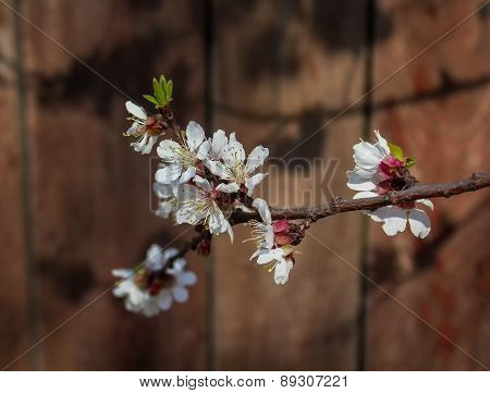 Cherry Blossoms On A Wooden Background