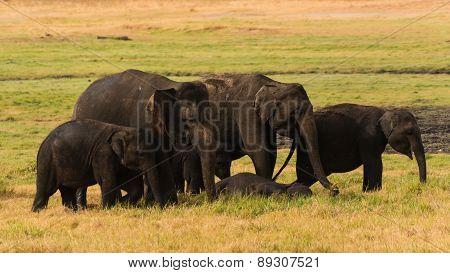 Elephants Of Sri Lanka