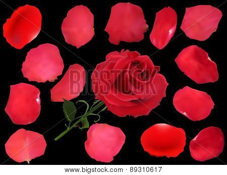 illustration with rose and  petals isolated on black background