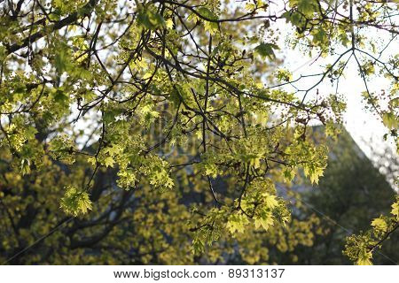 Sunlight in late afternoon piercing showing shadows on a beautiful spring time tree leaves