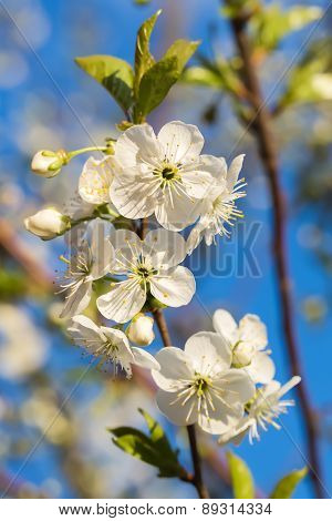 Flowering Branch Of Cherries Against The Blue Sky.