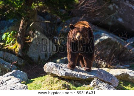 Blue Ridge Mountain Black Bear