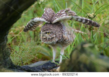 Burrowing owl wings open