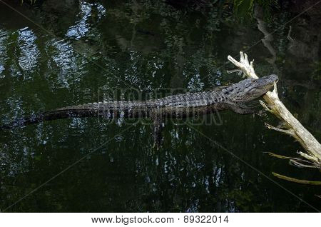 gator in the swamp