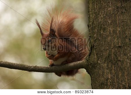 Squirrel On Branch Of Tree