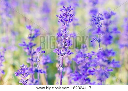 Blue Salvia (salvia farinacea) flowers blooming in the garden