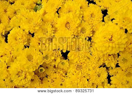 Sunny Monica Yellow Chrysanthemum Plant is flowers background