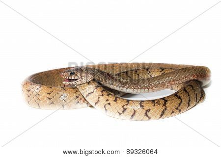 the Indochinese rat snake