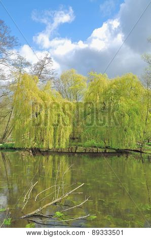 Weeping Willow Trees,Lower Rhine